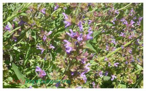 It was hard to get the camera to focus on the bees busy on the purple sage because they were working so fast. I have to schedule my garden work to accommodate the bees all over my yard, because they don't care what my schedule is.
