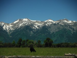 One of the cattle near the Tetons.