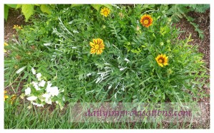 Here are some of the gazanias I grew from seed last year.