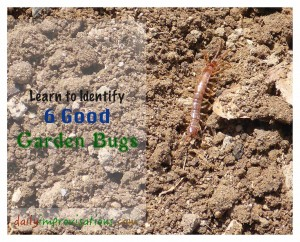 A centipede is one of the 6 Good Garden Bugs I learned to recognize more confidently this week.