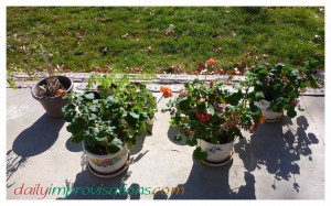 Overwintered plants are set out for hardening off a couple hours on the patio. The tomato is looking a bit scrawny; didn't give but one small one all winter, but the geraniums are blooming like crazy since December in the greenhouse!