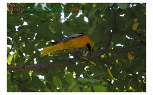 "A pretty yellow bird thriving in the shade of an ""unnaturally"" growing tree at the Idaho Botanical Gardens."