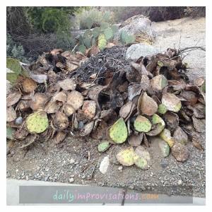 pack rat cactus town