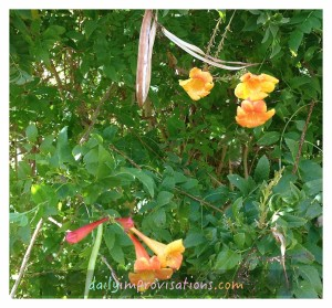 A few of the yellow trumpet flowers in the hummingbird garden.