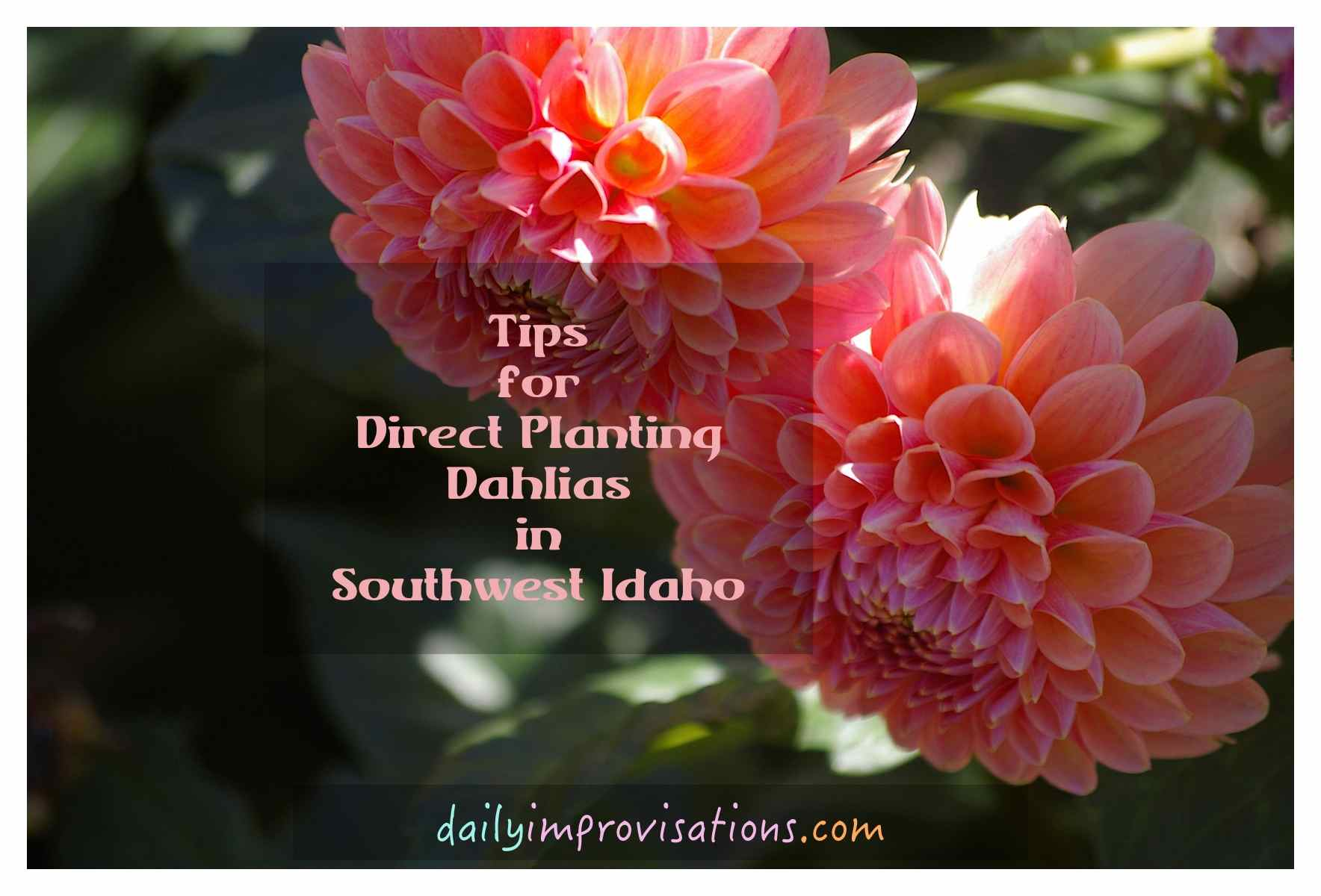 Tips for direct planting dahlias in southwest idaho direct dahlia peach burst izmirmasajfo