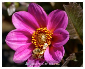direct dahlias purple with bee