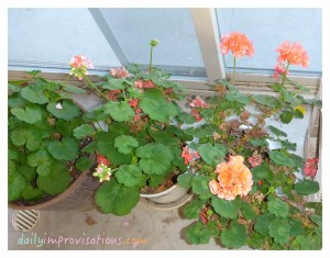 These are geraniums some that I grew from seed last year, so I was extra glad to be able to bring them in to sit by the sunny patio door in the greenhouse during winter.
