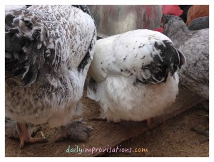 The white of these feathers demonstrates how clean chickens can be in spite of all the time they spend in the dirt and mud.
