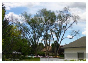 The Mother-Ship (or three mature Siberian elm trees)