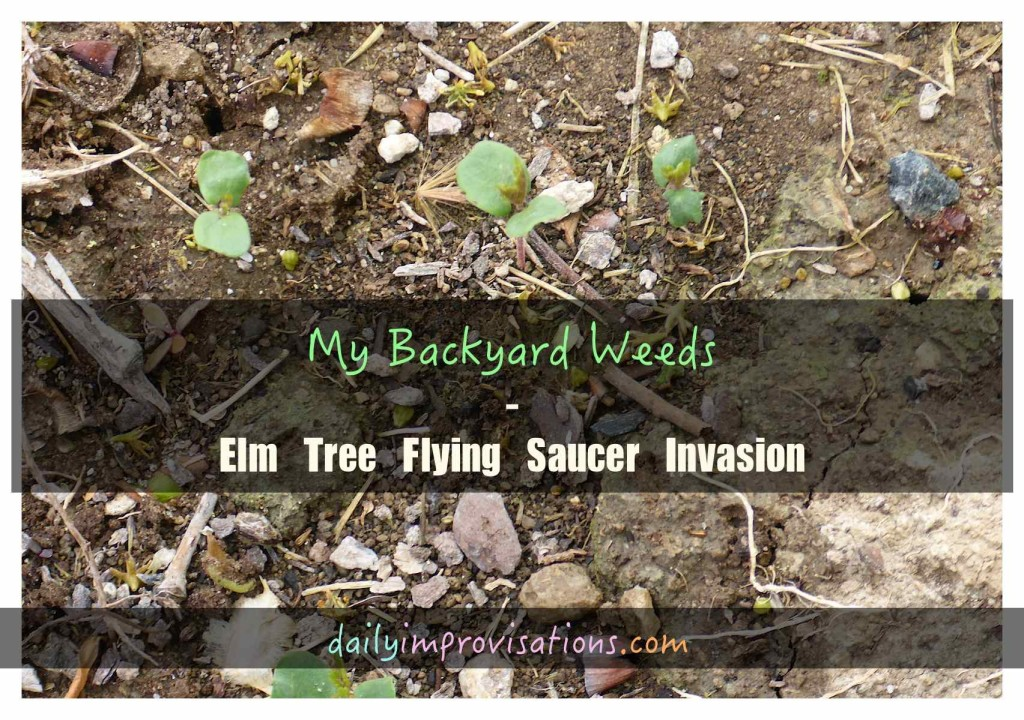 My Backyard Weeds – Elm Tree Flying Saucer Invasion