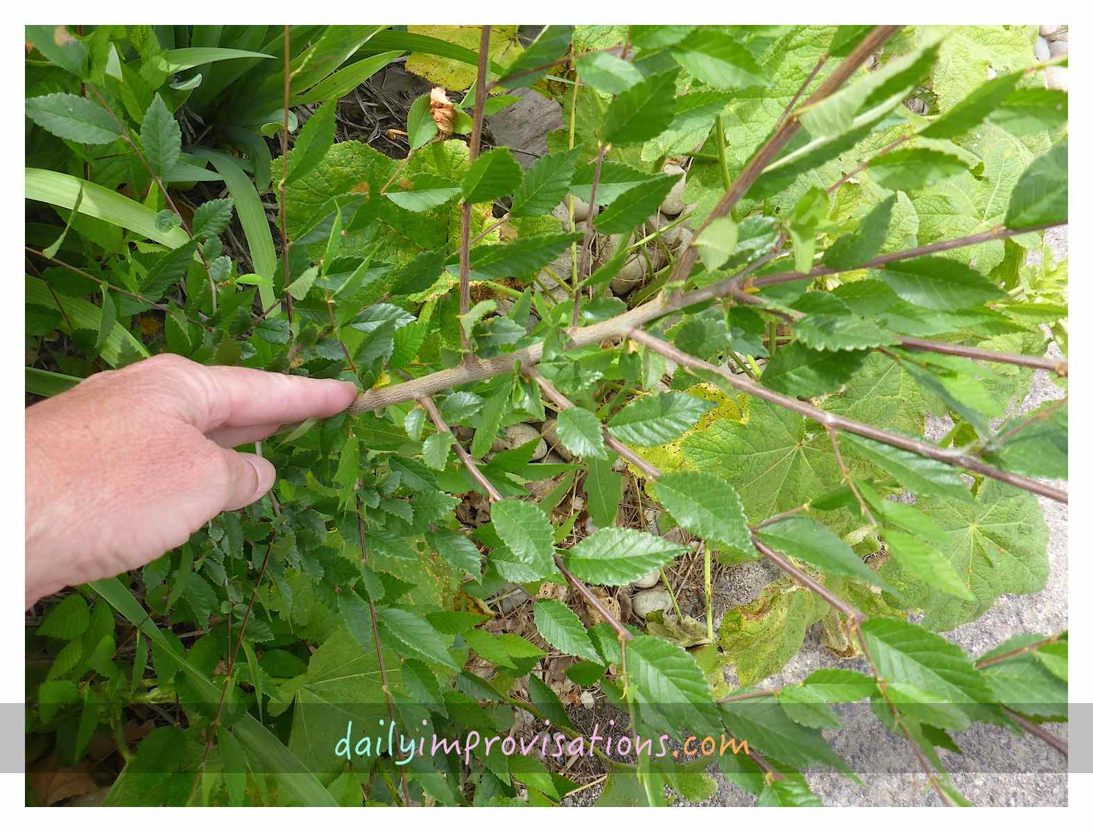 my backyard weeds u2013 elm tree flying saucer invasion