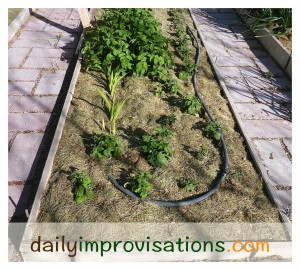 The larger plants to the upper left of the photo are potatoes that were already volunteering directly in this raised bed. The smaller plants are the ones planted a week before the photo was taken.