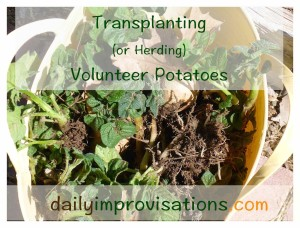 Volunteer potatoes placed in a bucket without breaking stems from roots.