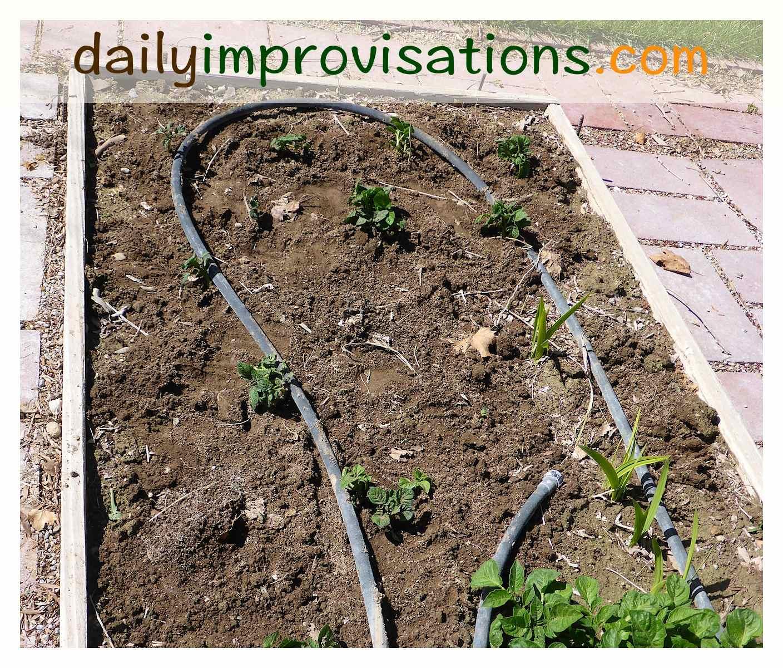 Transplanting (or Herding) Volunteer Potatoes