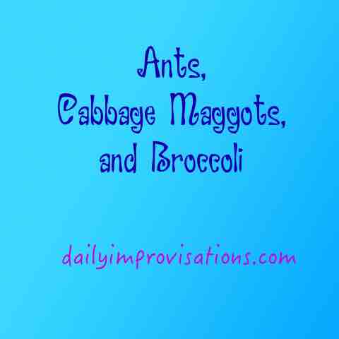 Ants, Cabbage Maggots, and Broccoli