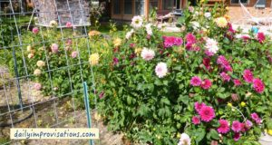 Here is one of my dahlia beds resulting from tubers planted in the spring. Most of the flowers are double and the plants began blooming in June.