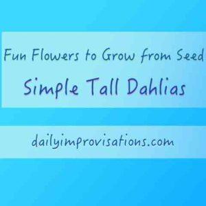dahlias-simple-and-tall