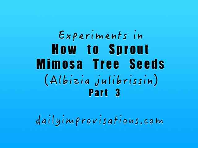 Experiments in How to Sprout Mimosa Tree Seeds (Albizia julibrissin) – Part 3