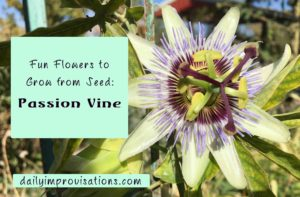passion-vine-flower-in-full-bloom