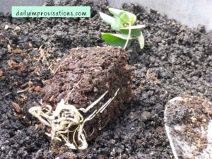 The seedling has healthy roots. They are thick and strong looking, but not suffering from being root bound in a container too small for them.