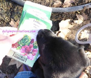 Planting is more challenging while training an 8 week old puppy not to eat your seeds or dig in the raised bed!