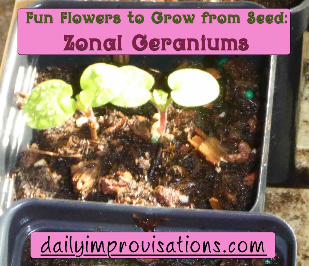 Fun Flowers to Grow from Seed: Zonal Geraniums