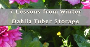 Winter Dahlia Tuber Storage 7 lessons