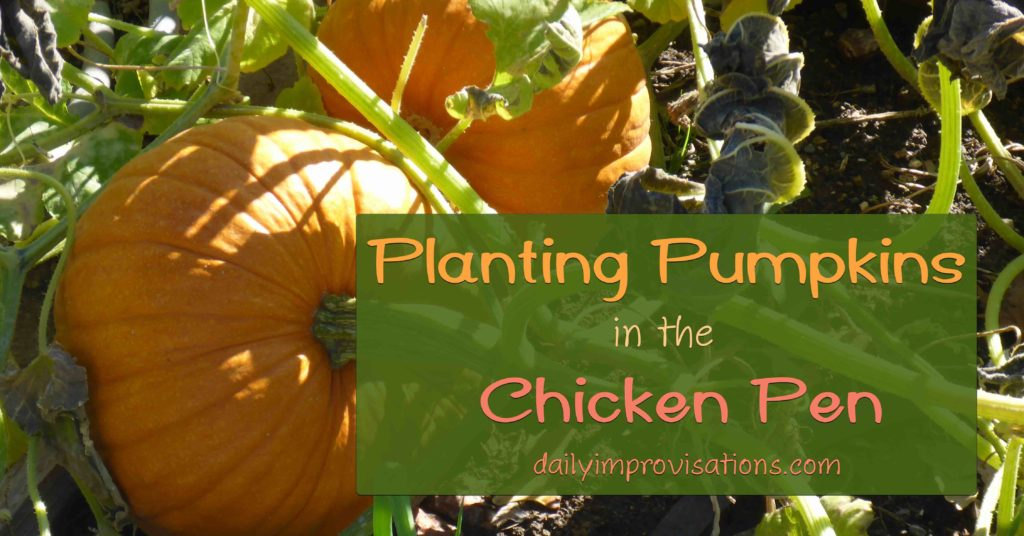 Planting Pumpkins in the Chicken Pen