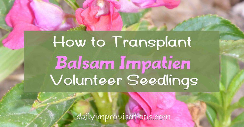 How to Transplant Balsam Impatien Volunteer Seedlings
