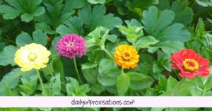 Zinnias among the winter squash plants