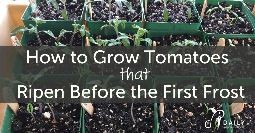 How to Grow Tomatoes that Ripen Before the First Frost