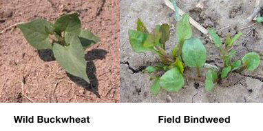 My Backyard Weeds – Wild Buckwheat Poses as Bindweed