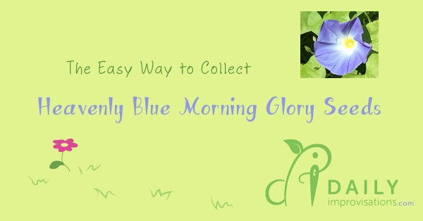 The Easy Way to Collect Heavenly Blue Morning Glory Seeds