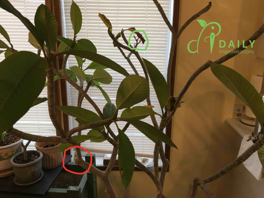 How to Grow a  Plumeria Tree in Idaho (in spite of yourself)